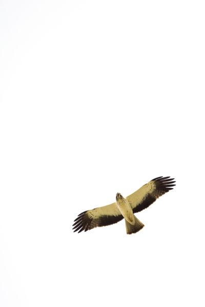 Águia-calçada/Aquila pennata