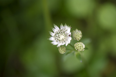 Astrantia major