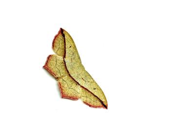 Calothysanis amata L.
