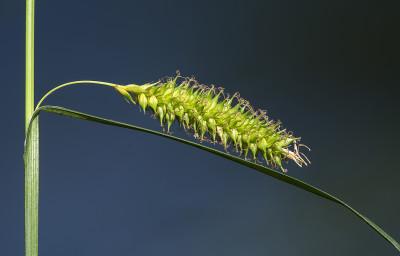 Carex laevigata Sm