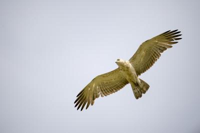 Águia-cobreira/Circaetus gallicus
