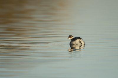 Mergulhão-de-pescoço-preto / Podiceps nigricollis