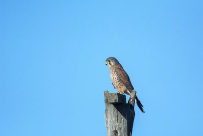 Peneireiro vulgar / Falco tinunculus