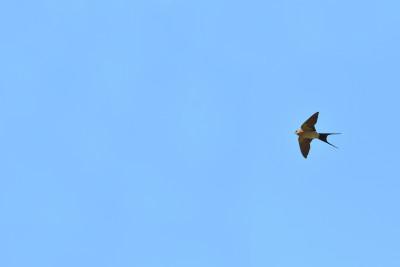Andorinha-dáurical/Hirundo daurica