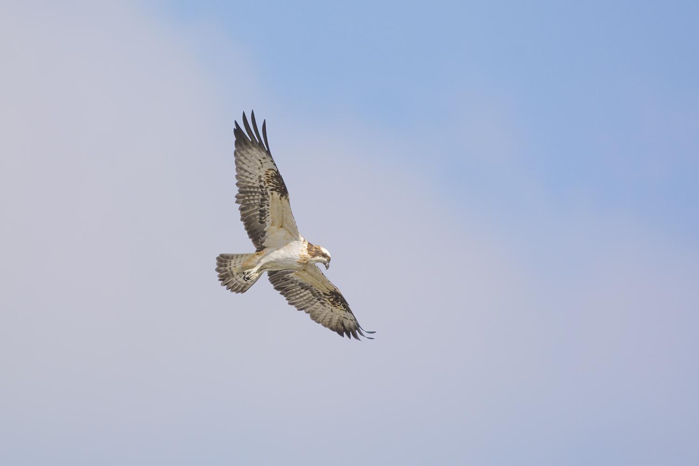 Pandion heliaetus (águia-pesqueira)