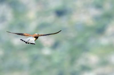 Falcão-peneireiro/ Falco tinnunculus