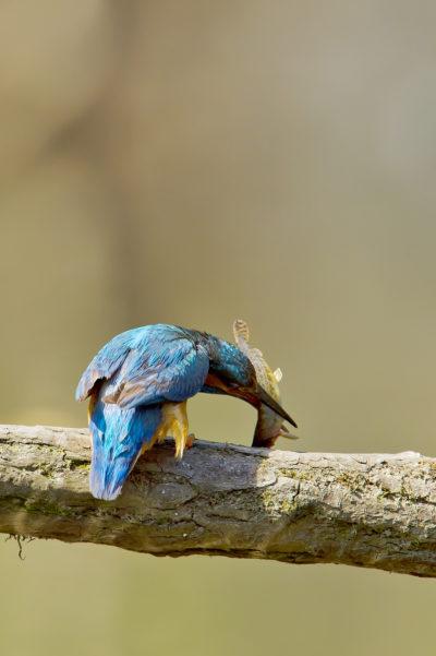 Martim-pescador/Alcedo atthis