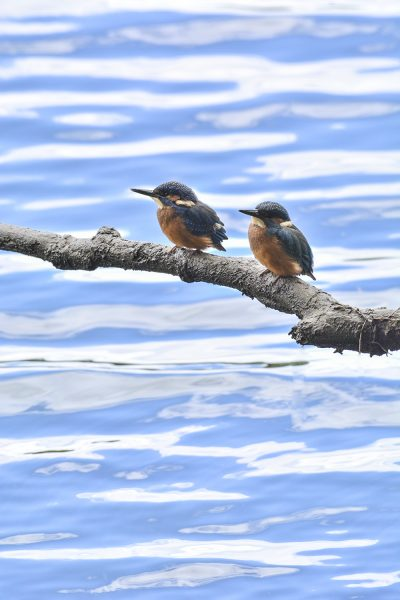 Martim-pescador (juvenil)/Alcedo atthis