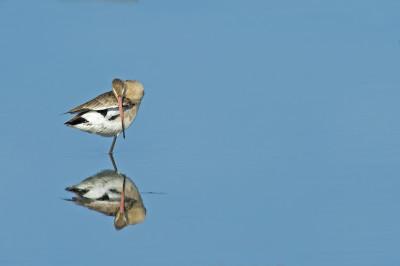 Maçarico-de-bico-direito/Limosa limosa