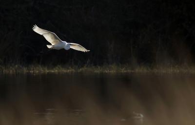 Graça-branca-grande/Casmerodius alba