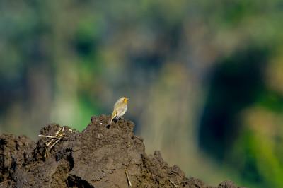 Pico-de-peito-ruivo/Erythacus rubecula