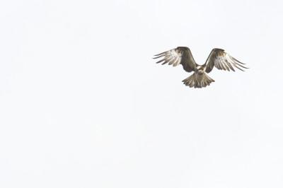 Águia-pesqueia/Pandion haliaetus