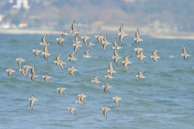 Pilrito-das-praias/Calidris alba