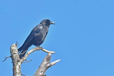 Gralha-preta/Corvus corone