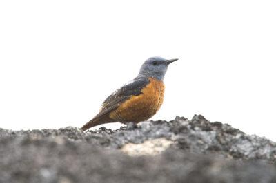 Melro-das-rochas / Monticola saxatilis