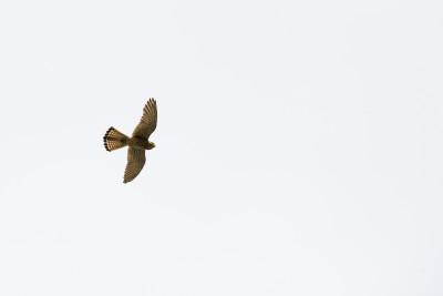 Falcão-peneireiro/_Falco tinnunculus