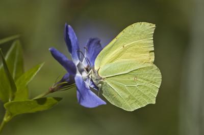 Gonepteryx rhamni L.