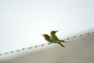 Abelharuco/Merops apiaster