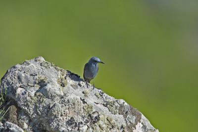 Melro-azul (macho)/Monticola solitarius