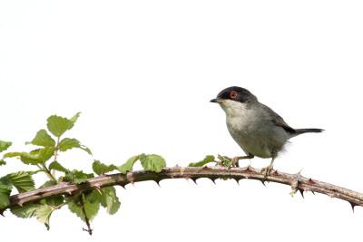 Toutinegra-de-cabeça-preta/Sylvia melanocephala