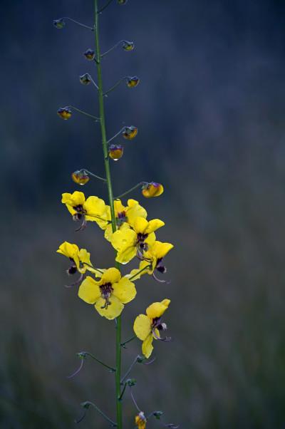 Verbascum barnadesii/Verbasco-amarelo