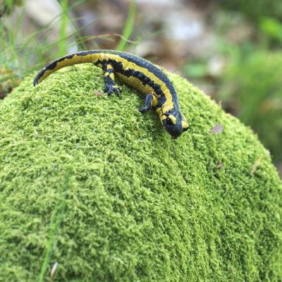 Salamandra-de-pintas-amarelas / Salamandra salamandra (Astúrias)